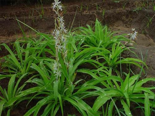 Chlorophytum Borivilianum Pdf